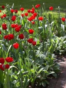tulipani&stachys